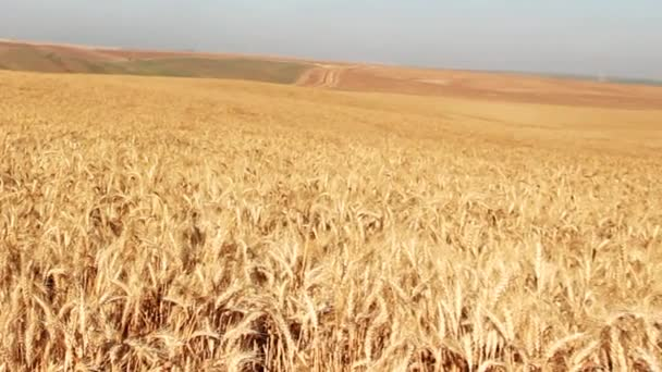 Golden Wheat Field With Blue Sky in Background. Selective Focus