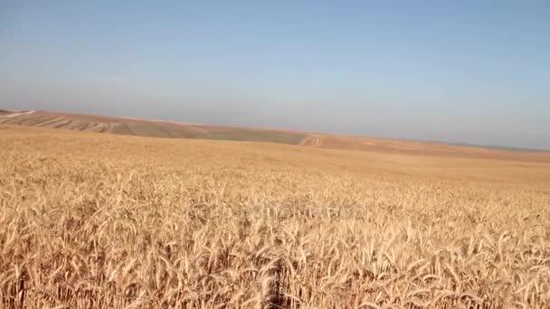 A mező a búza készen áll a betakarított. Szelektív összpontosít