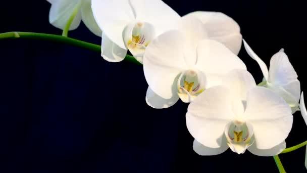 Makro velké bílé květy orchidejí na černém pozadí