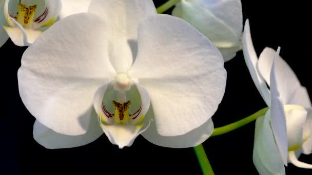 Detail videa bílé velké květy orchidejí na černém pozadí