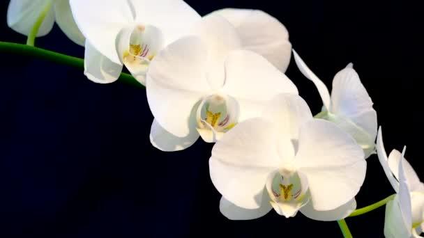 Bílé velké květy orchidejí na černém pozadí