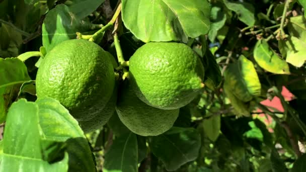 frische grüne Zitronen am Baum. 4K