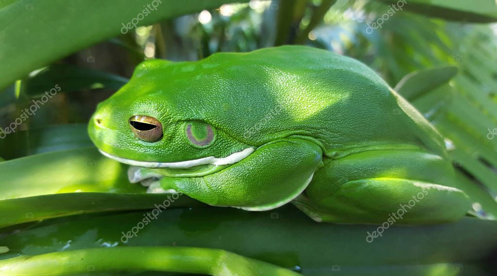 Tropical green frog