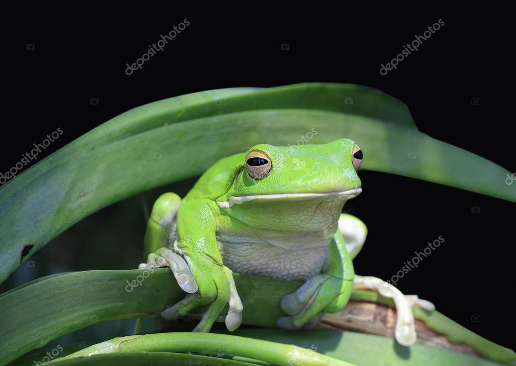 close up of a Tropical green frog in the garden