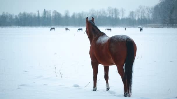 Tmavě hnědý kůň na poli zimních