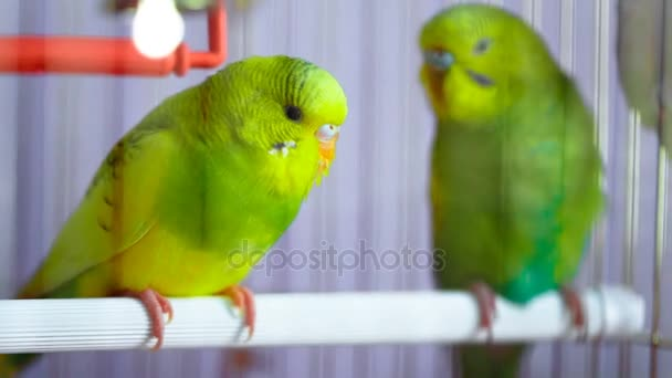 Two green wavy parrot in a cage