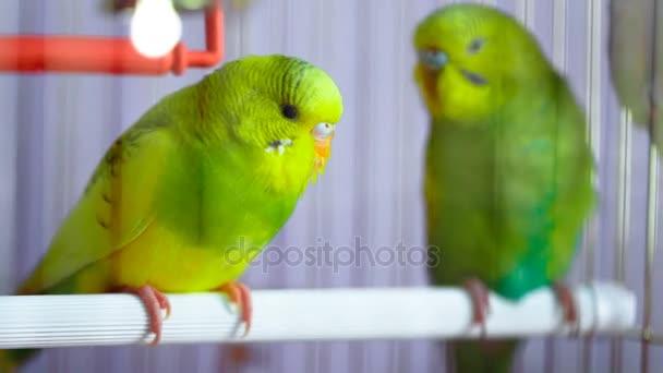 Dvě zelené zvlněné papoušek v kleci