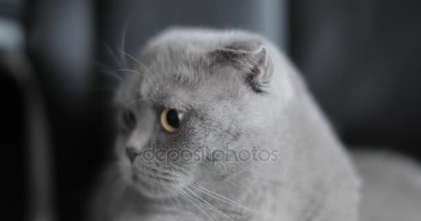 Kot Brytyjski Krótkowłosy Wideo Stockowe Paveltalashov 166298200