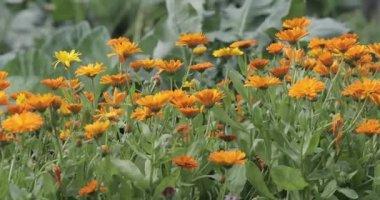 Orange Calendula garden flowers