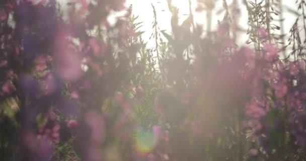 Krásná louka fialové květy.