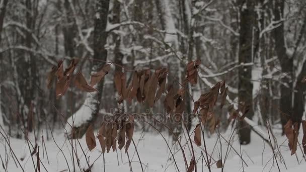 Hojas secas de color marrón grandes en una rama de árbol en invierno ...