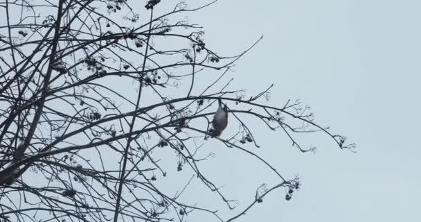 Vogel des Gimpels auf den Zweigen der Eberesche im Winter