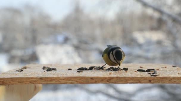 Madár eurázsiai kék cinege magok csipegetni a Madáretető, télen. Slow motion videót