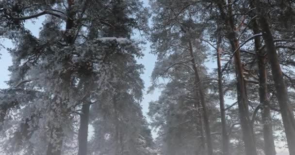 winter pine forest in the fog