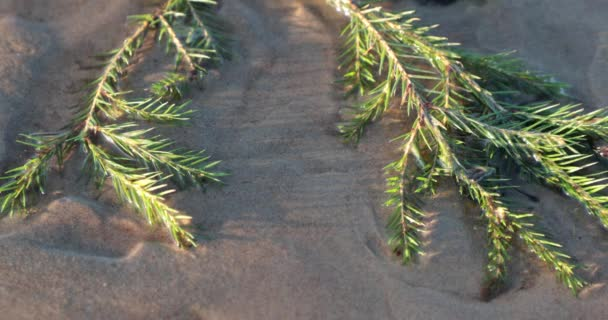 Zweige der grüne Nadelbäume am Sandstrand
