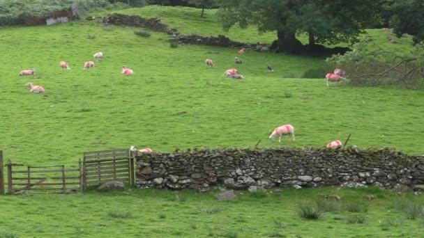 Rosso contrassegnato pecore