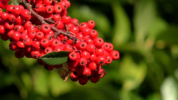 Red berries green blurry background