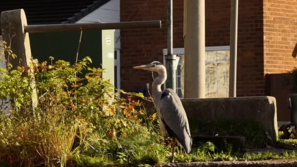 Volavka popelavá divoké velký pták stojící na slunci na trávě na ulici ve městě v Anglii, auta projíždějící