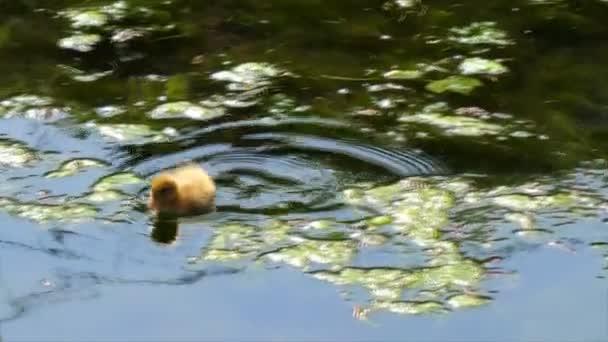 Následující fotoaparát roztomilé žluté káčátko plavání rychle v rybník nebo jezero kachna divoká