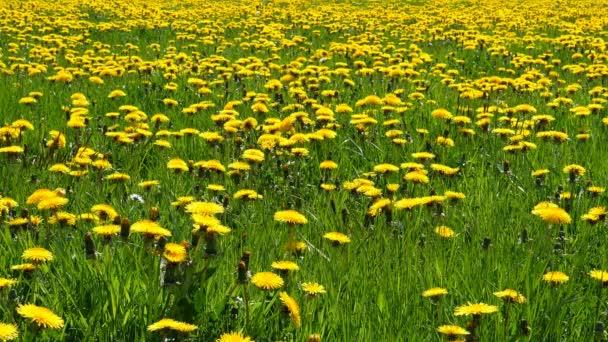 Csak a szép sárga pitypang virágot és a zöld fű, a nagy területen, háttér