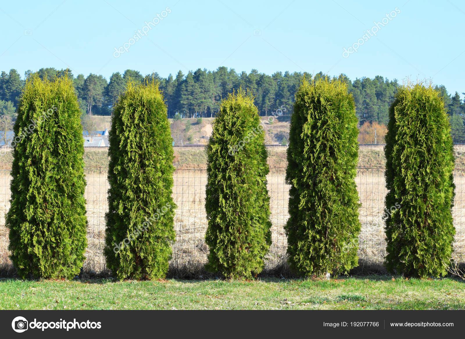 Fragment Hedge Evergreen Decorative Plants Thuja Variety