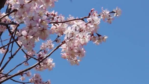 Blooming pink sakura against the sky, blooming natural background.