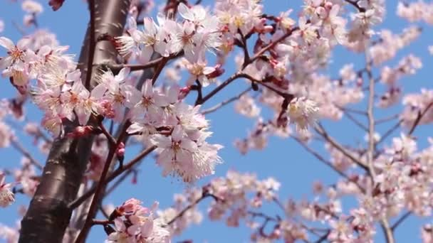 Kvetoucí sakura se větví proti modré obloze, jarní pozadí.