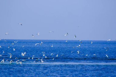 Many seagulls fly and feed on fish in the sea.Seagulls or gulls diving into water to catch a shoal of fish