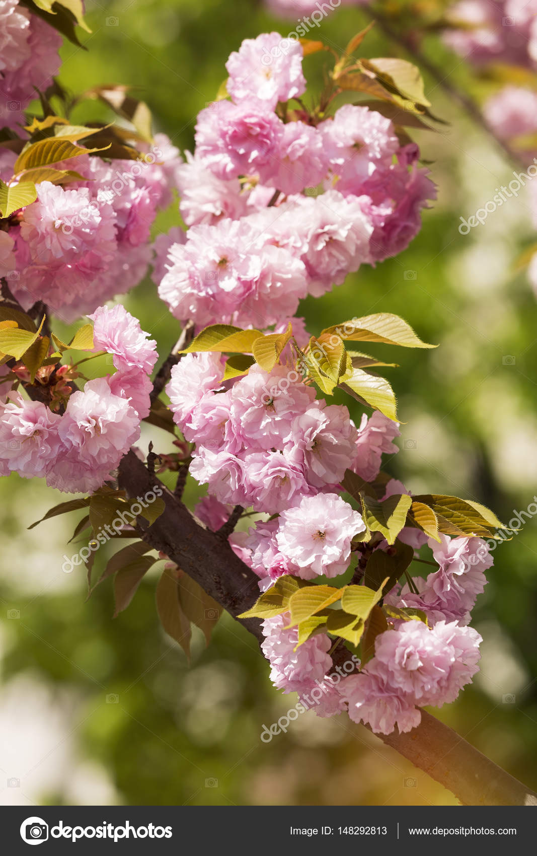 Pink Flowers In Bloom On Japanese Cherry Tree Stock Photo Slast