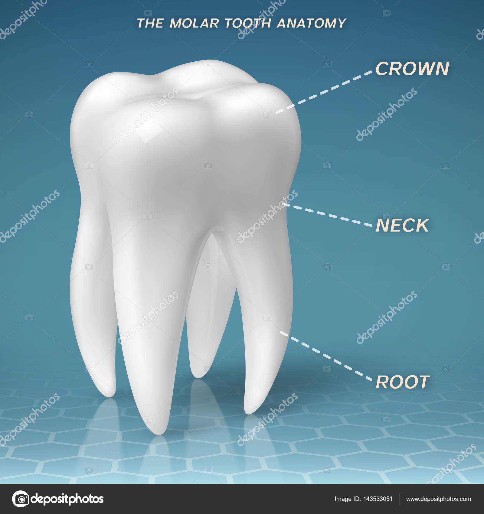 Anatomía del molar - corona, cuello y raíz del diente — Archivo ...