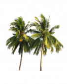 two coconut tree isolated on white background