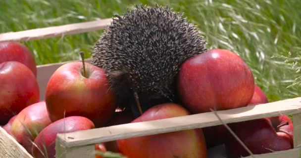 Bezár aranyos szürke sündisznó ül a kertben fából készült ládában tele piros illatos alma, szaglászik őket a magas fű a napos szeles napon. Füvet mozgató szél. Aratási koncepció, lassított felvétel