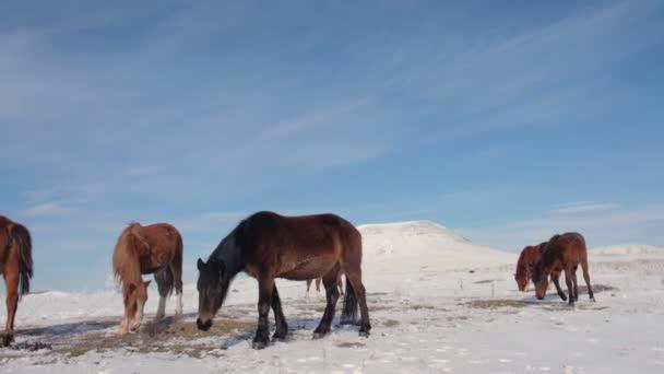 Herd of horses in the field in winter