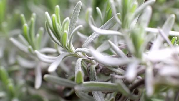 Levandulové květinové větvičky makro záběr, pozadí, detailní záběr
