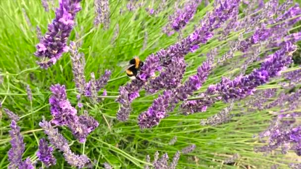 Bumble bee pollinating lavender flowers in a field, slow motion