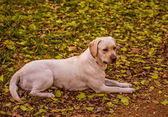 Funny young yellow labrador in beautiful autumn park on sunny day. Autumn portrait of white labrador lying in yellow leaves.