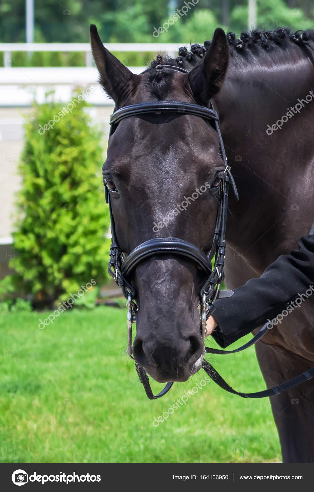Black Horse Portrait During Dressage Competition Stock Photo C Martanovak 164106950
