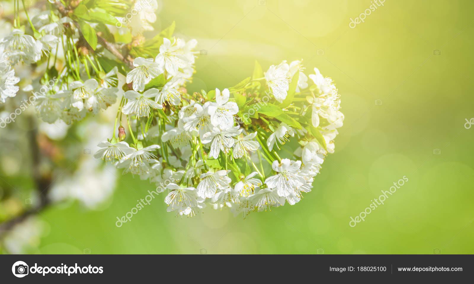 Fleurs Cerisier Blanc Belles Fleurs Cerisier Fond Avec Des Fleurs
