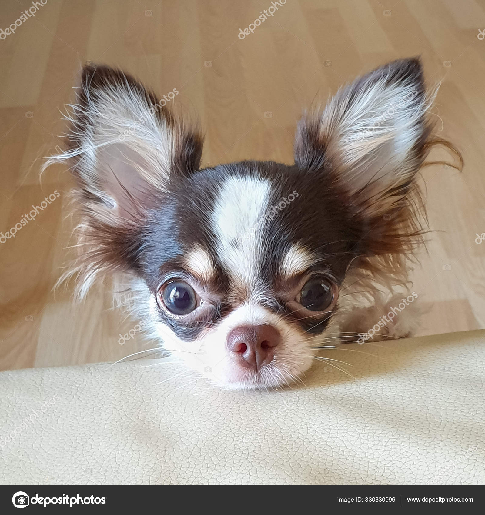 Cute Long Hair Chihuahua Puppy Facing The Camera Stock Photo C Suphawinee B Gmail Com 330330996