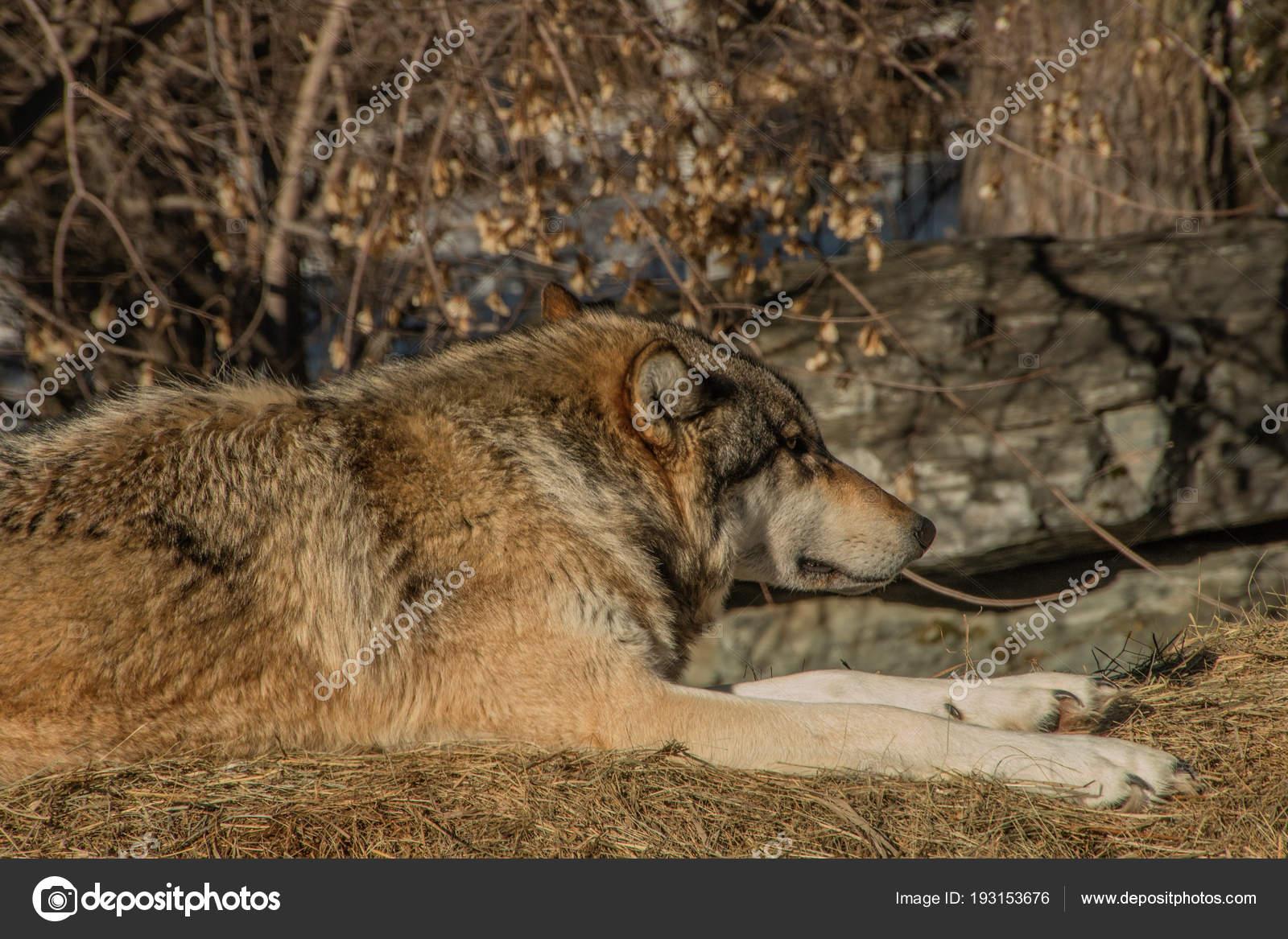 большой волк в ростовской области фото самом начале это