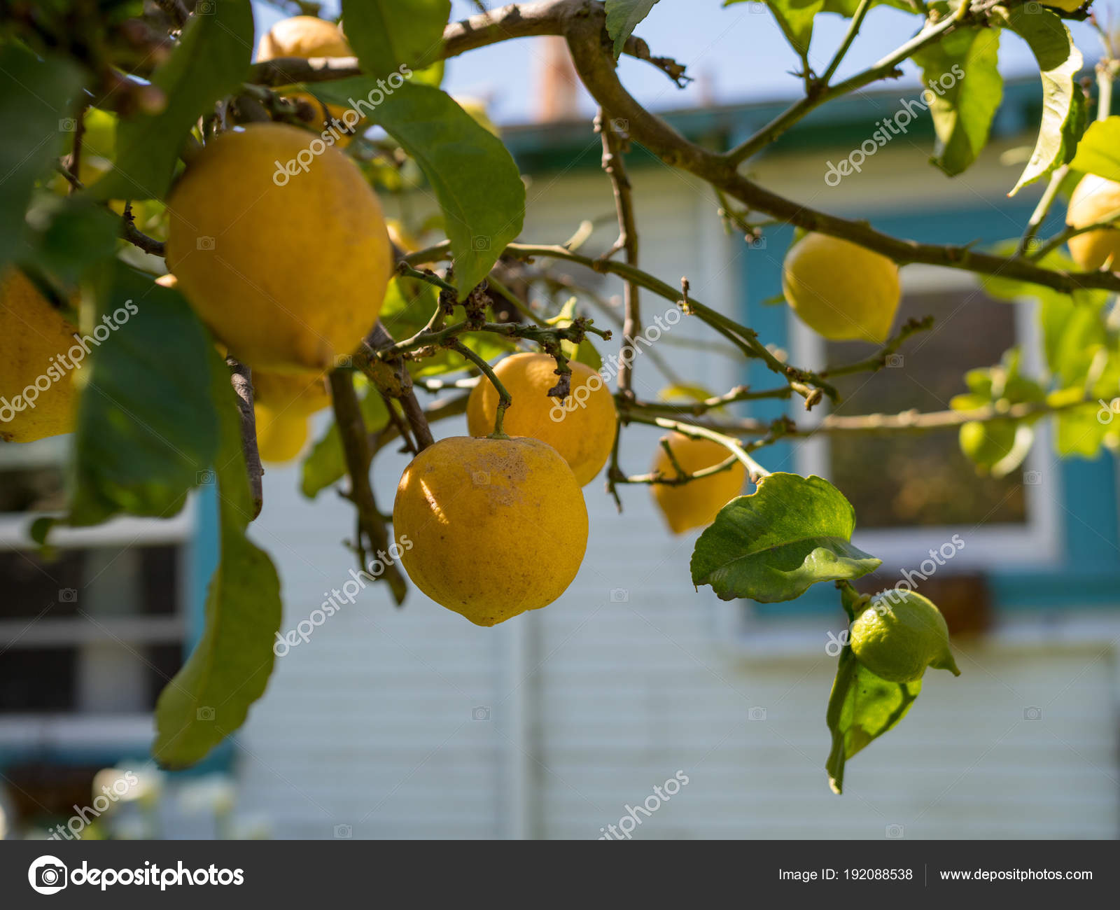 Mehrere Reife Zitronen Hängen Vom Baum Reif Für Die Ernte