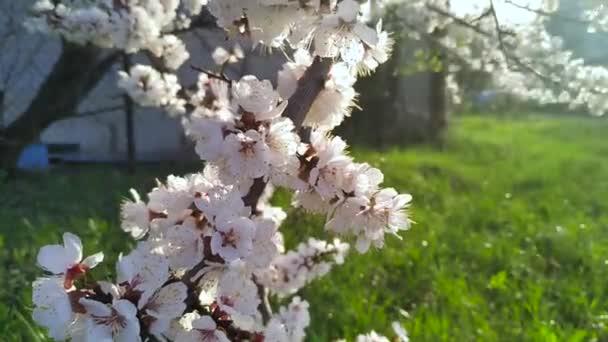Třešňový květ, Sakura květ, kvetoucí třešňový květ v plném květu