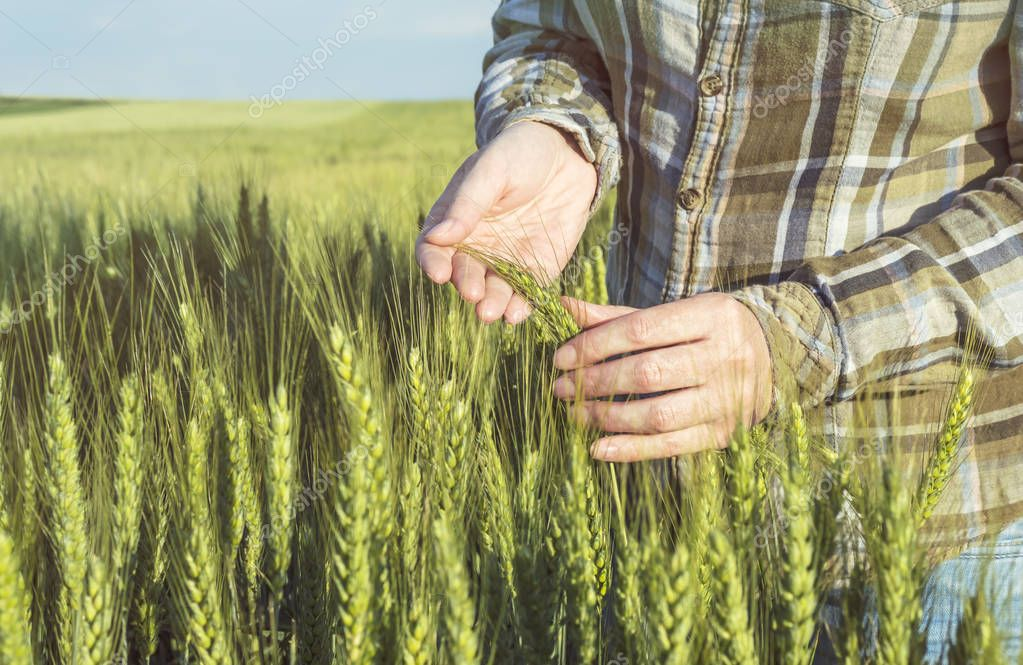 Female hand in barley field, farmer examining plants, agricultur