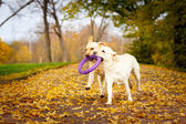 autumn labrador retriever dog