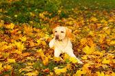 autumn labrador retriever dog