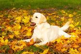 podzimní pes labrador retriever