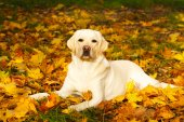 őszi labrador Vizsla kutya