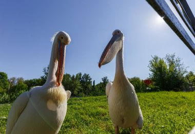 Two white Pelicans in the city zoo, wide angle photo.