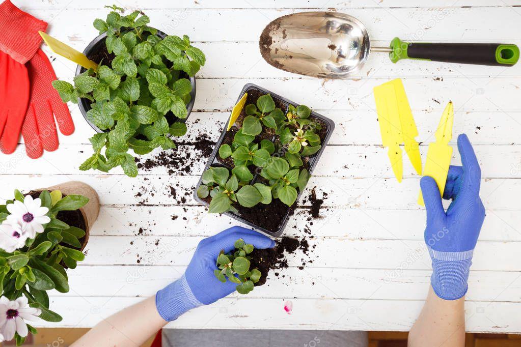 Gardener planting flowers, close up photo