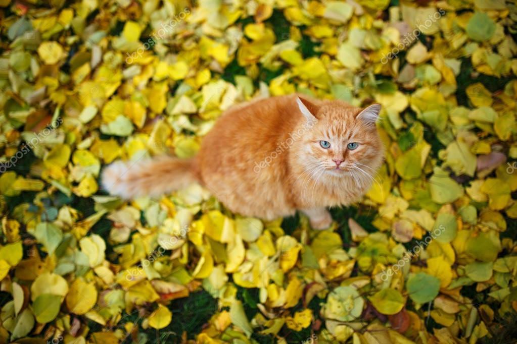 Cute ginger cat sitting on fall leaves carpet.